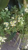 Stokrotka kwiat obraz stock