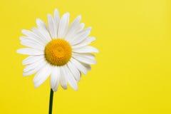 Stokrotka kwiat Fotografia Stock