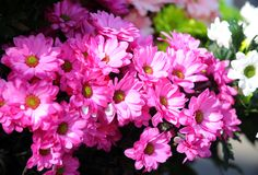 Stokrotka - kwiat Zdjęcia Royalty Free