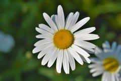 Stokrotka kwiat Zdjęcie Royalty Free