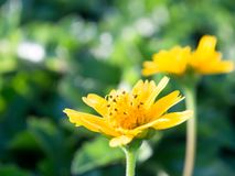 Stokrotka kwiat Obraz Royalty Free