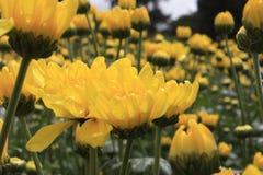 Stokrotka kwiat Obrazy Royalty Free