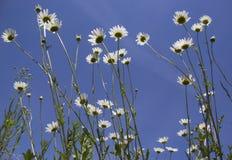Stokrotka kwiat Zdjęcie Stock