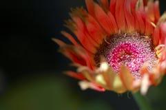 Stokrotka kwiat Makro- Zdjęcie Stock