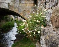 Stokrotka kwiat na ścianie Zdjęcia Royalty Free