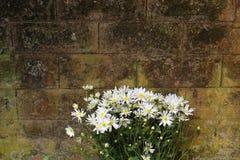 Stokrotka kwiat na ścianie Fotografia Royalty Free