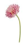 Stokrotka kwiat odizolowywający na bielu Zdjęcia Stock