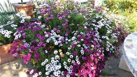 Stokrotka kwiat podczas wiosny Zdjęcia Stock