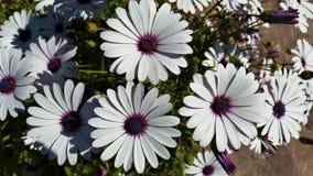 Stokrotka kwiat podczas wiosny fotografia stock