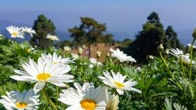Stokrotka kwiat przy scenicznym widoku punktem Zdjęcie Stock