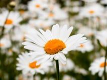 Stokrotka kwiat w lato ogródzie Kolorów żółtych kwiaty Zdjęcie Stock