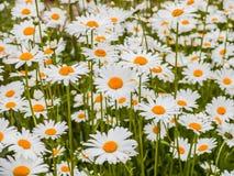 Stokrotka kwiat w lato ogródzie Kolorów żółtych kwiaty Zdjęcie Royalty Free