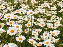 Stokrotka kwiat w lato ogródzie Kolorów żółtych kwiaty Obraz Royalty Free