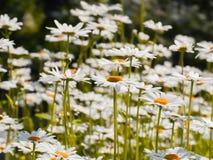 Stokrotka kwiat w lato ogródzie Kolorów żółtych kwiaty Zdjęcia Stock