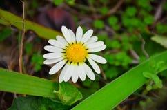 Stokrotka kwiat w Nowa Zelandia ogródzie obraz royalty free