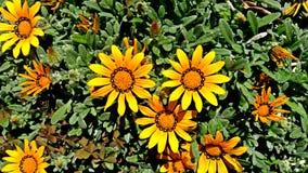 Stokrotka kwiat w ogródzie fotografia stock