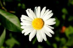 Stokrotka kwiat w ogródzie Obraz Stock