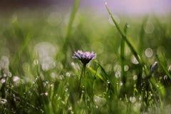 Stokrotka kwiat w ranek rosie Zdjęcia Royalty Free
