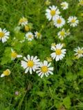 Stokrotka kwiat w wiośnie Fotografia Stock