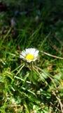 Stokrotka kwiat w wio?nie fotografia stock