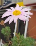 Stokrotka kwiat wzrastał Zdjęcia Royalty Free