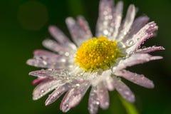 Stokrotka kwiat z kroplami rosa fotografia royalty free