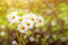 Stokrotka kwiat z płytką ostrością zdjęcie royalty free