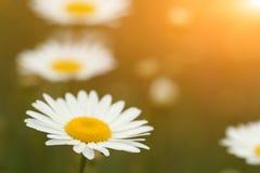 Stokrotka kwiatu ogródu wiosna zdjęcia royalty free