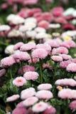Stokrotka kwiatu ogródu wiosny sezon zdjęcie royalty free
