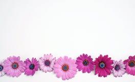 stokrotka kwiaty Zdjęcie Royalty Free