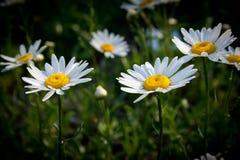 stokrotka kwiaty Fotografia Royalty Free