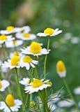 Stokrotka kwiaty. Obraz Royalty Free