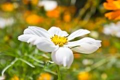 stokrotka kwiaty Obrazy Stock