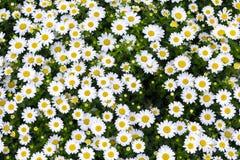 Stokrotka kwiaty Obraz Royalty Free