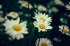 Stokrotka kwiaty na zamazanym zielonym tle Obraz Stock