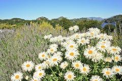 stokrotka kwitnie łąkę Obrazy Royalty Free