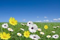 stokrotka kwitnie biały kolor żółty Fotografia Royalty Free