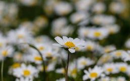stokrotka kwitnie biel Zdjęcie Stock