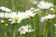 stokrotka kwitnie biel obrazy stock