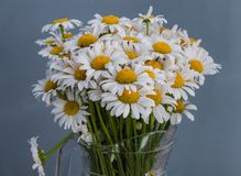stokrotka kwitnie biel Wiosna Zdjęcie Royalty Free