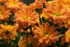 Stokrotka kwitnie bukiet chryzantemę Fotografia Stock