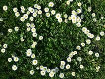 Stokrotka kwitnie kierowego kształt na trawie Obrazy Stock