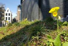 Stokrotka kwitnie w Amsterdam mieście zdjęcie royalty free