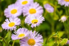 Stokrotka kwitnie w wiośnie przy półmrokiem Obrazy Stock