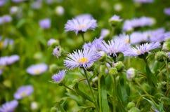 Stokrotka kwitnie w wiośnie przy półmrokiem Fotografia Stock