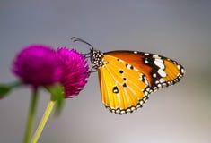 Stokrotka motyl i kwiat Zdjęcia Royalty Free