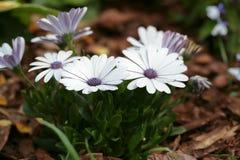 stokrotka piękni kwiaty Fotografia Royalty Free