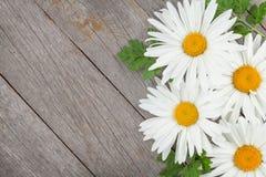 Stokrotka rumianku kwiaty Zdjęcia Stock