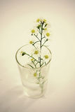 Stokrotka w wazie Obraz Stock
