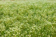 Stokrotki łąka w letnim dniu Obrazy Royalty Free